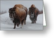 Three Animals Greeting Cards - Yellowstone Bison Greeting Card by DBushue Photography