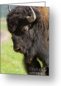 Horns Greeting Cards - Yellowstone Bison Portrait Greeting Card by Sandra Bronstein