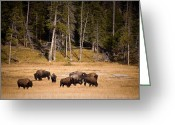 Bison Greeting Cards - Yellowstone Bison Greeting Card by Steve Gadomski