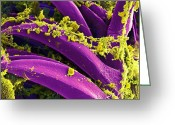 Bacterial Greeting Cards - Yersinia pestis Bacteria SEM Greeting Card by NIAID and Photo Researchers