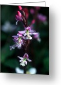 Sub Greeting Cards - Yoho - Roundleaf Orchid 1 Greeting Card by Terry Elniski