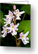 Sub Greeting Cards - Yoho - Roundleaf Orchid 2 Greeting Card by Terry Elniski