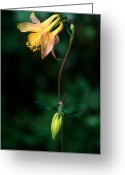 Sub Greeting Cards - Yoho - Yellow Columbine 1 Greeting Card by Terry Elniski