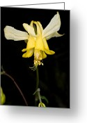 Sub Greeting Cards - Yoho - Yellow Columbine 2 Greeting Card by Terry Elniski