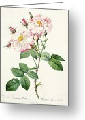 Gardening Drawings Greeting Cards - York and Lancaster Rose Greeting Card by Pierre Joseph Redoute