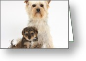 Cross Breed Greeting Cards - Yorkie And Yorkipoo Pup Greeting Card by Mark Taylor