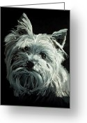 Oil Painting Greeting Cards - Yorkie Greeting Card by Enzie Shahmiri
