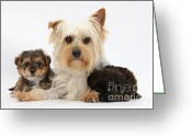 Cross Breed Greeting Cards - Yorkie Mother With Yorkipoo Pups Greeting Card by Mark Taylor
