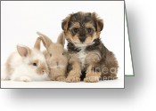 Cross Breed Greeting Cards - Yorkipoo Pup With Baby Rabbits Greeting Card by Mark Taylor