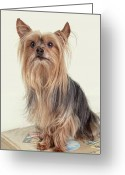 Old-fashion Digital Art Greeting Cards - Yorkshire Terrier Posing on a Suitcase Greeting Card by Susan Stone