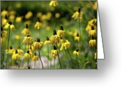 Echinacea Greeting Cards - Yosemite Coneflowers Greeting Card by Peter Tellone