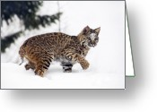 Cat Profile Greeting Cards - Young Bobcat playing in snow Greeting Card by Melody and Michael Watson