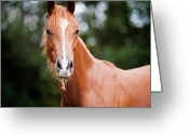 Quarter Horse Greeting Cards - Young Brown Quarter Horse Greeting Card by Jorja M. Vornheder