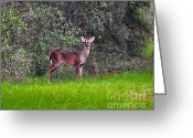 White Tailed Deer Greeting Cards - Young Buck Greeting Card by Al Powell Photography USA