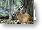White Tailed Deer Greeting Cards - Young Buck at rest Greeting Card by Paul Ward