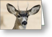 Horns Greeting Cards - Young Buck Greeting Card by Loree Johnson
