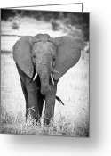 Tanzania Greeting Cards - Young Bull Greeting Card by Adam Romanowicz