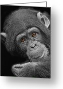 Chimpanzee Greeting Cards - Young Chimpanzee Greeting Card by Larry Linton