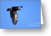 Eagle In Flight Greeting Cards - Young Eagle Greeting Card by Sharon  Talson