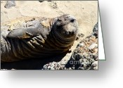 Sunbathing Greeting Cards - Young Elephant Seal Molting . 7D16091 Greeting Card by Wingsdomain Art and Photography