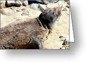 Sea Animal Greeting Cards - Young Elephant Seal Molting . 7D16118 Greeting Card by Wingsdomain Art and Photography