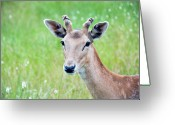 Animal Portrait Greeting Cards - Young Fawn, Red Fallow Deer Buck Greeting Card by Sharon Vos-Arnold