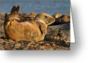 Gabor Pozsgai Greeting Cards - Young Grey seal Halichoerus grypus Greeting Card by Gabor Pozsgai