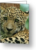 Evansville Greeting Cards - Young Jaguar Greeting Card by Sandy Keeton