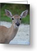 Florida Key Deer Greeting Cards - Young Key Deer Greeting Card by Carol McGunagle