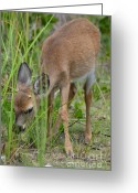 Florida Key Deer Greeting Cards - Young Key Deer Grazing Greeting Card by Carol McGunagle