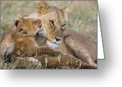 Maasai Mara Greeting Cards - Young Lion Cub Nuzzling Mom Greeting Card by Suzi Eszterhas