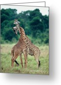 Selection Greeting Cards - Young Male Giraffes Necking Greeting Card by Greg Dimijian