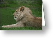 Prowess Greeting Cards - Young Male Lion Greeting Card by Daniel Earnhardt