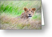 Felidae Digital Art Greeting Cards - Young Male lion in savanna grass land. Greeting Card by Bernhard Bekker