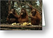 Apes Greeting Cards - Young Orangutans Eat Together Greeting Card by Rodney Brindamour