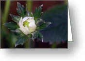 Spring Time Greeting Cards - Young Strawberry Greeting Card by Lisa  Phillips