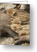 Boar Greeting Cards - Young Wild Boar Greeting Card by Bjorn Svensson