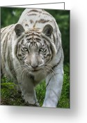 Big Cats Greeting Cards - Zabu Greeting Card by Big Cat Rescue