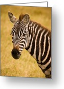 Tanzania Greeting Cards - Zebra Greeting Card by Adam Romanowicz