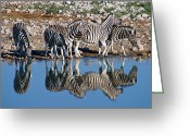 Waterhole Greeting Cards - Zebra At Etosha Waterhole  Greeting Card by David Kleinsasser