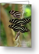 Tropical Gardens Greeting Cards - Zebra Butterflies Hanging On Greeting Card by Sabrina L Ryan