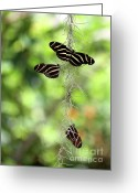 Gossamer Greeting Cards - Zebra Butterflies Hanging Out Greeting Card by Sabrina L Ryan