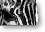 Dana Oliver Greeting Cards - Zebra Eye Greeting Card by Dana  Oliver