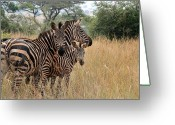 Zebra Greeting Cards - Zebra Family Greeting Card by David Gardener