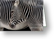 Striped Greeting Cards - Zebra Head Greeting Card by Carlos Caetano