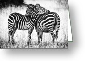 Black Greeting Cards - Zebra Love Greeting Card by Adam Romanowicz