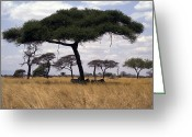 Tree. Acacia Greeting Cards - Zebra Shading Themselves Under An Greeting Card by Jason Edwards