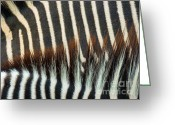 Photographs Digital Art Greeting Cards - Zebra Stripes Greeting Card by Methune Hively