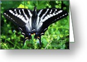 Spicebush Greeting Cards - Zebra Swallowtail Butterfly Greeting Card by Photography Moments - Sandi