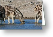 Waterhole Greeting Cards - Zebra Trio Greeting Card by Bruce J Robinson